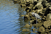 Great Blue Heron Photos - Patience by Brad Holderman