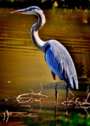 Blue Heron Framed Prints - Patience of the Heron Framed Print by Emily Stauring