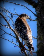 Red Tail Hawk Art - Patience by Priscilla Richardson