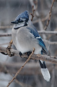 Bluejay Metal Prints - Patient Blue Jay Metal Print by Barry Doherty