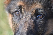 German Shepherd Prints - Patriot Eyes Print by John Koubaroulis