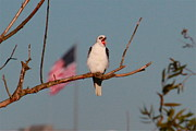 Paul Marto - Patriotic White-tail Kite