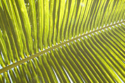 Frond Prints - Pattrn Of A Tropical Palm Frond Print by Stephen Sharnoff