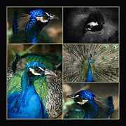 Solitude Digital Art Posters - Pavo cristatus III The Heart of Solitude  - Indian Blue Peacock  Poster by Sharon Mau