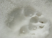 Animal Paw Print Posters - Paw in The Snow 01 Poster by Ausra Paulauskaite