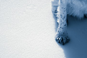 Snow Dog Posters - Paw in the Snow Poster by George Hausler