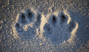 Dog Paw Print Posters - Paw Prints in the Sand Poster by Peggie Strachan