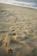 K9 Posters - Paw Prints In The Sand Poster by Roberto Westbrook