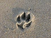 Dog Paw Print Posters - Pawprint in the Sand Poster by Stacey May