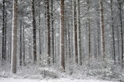 Snow Covered Pine Trees Prints - Peace in the Woods Print by Catherine Reusch  Daley