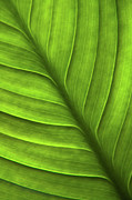 Vibrancy Prints - Peace Lily Leaf Print by Julia Hiebaum