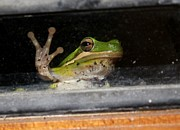 Sign In Florida Photo Prints - Peace Out Frog Print by Theresa Willingham
