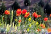 Tulips Reliefs - Peaceable by Robert Shahbazi