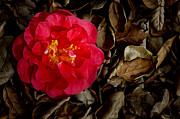 Bobbi Feasel - Peaceful Camellia
