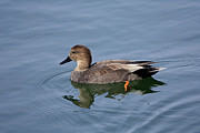 Shelley Myke Prints - Peaceful Reflection- Female Gadwall Duck Swimming at the Pond Print by Inspired Nature Photography By Shelley Myke