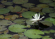 White Water Lilies Posters - Peaceful Water Lily Poster by Sabrina L Ryan