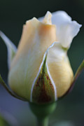 Light And Dark  Prints - Peach and White Rose Bud Flower II Print by Jennie Marie Schell