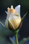 Peach And White Prints - Peach and White Rose Bud Flower Print by Jennie Marie Schell