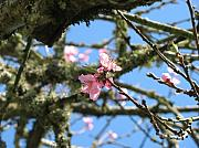 Bloosom Photos - Peach Blossom by Juli House