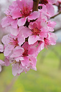 Pink Flower Branch Art - Peach Blossoms by Oksana Struk