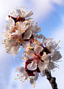 State Flowers Photos - Peach Blossoms by Robert Bales