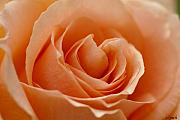 Peach Rose Prints - Peach Print by Carol Lynch