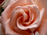 Sean Griffin Prints - Peach-Colored Rose Print by Sean Griffin