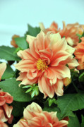 Peach Originals - Peach Dahlia I by Frank LaFerriere