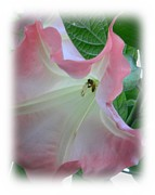 Trumpet Photo Originals - Peach Datura and Bee by Warren Thompson
