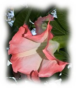 Peach Photo Originals - Peach Datura Shadows by Warren Thompson