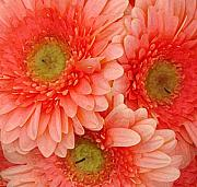 Daisy Framed Prints - Peach Gerbers Framed Print by Amy Vangsgard