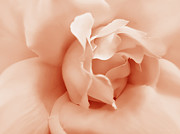 Peach Rose Photos - Peach Pastel Rose Flower by Jennie Marie Schell