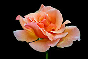 Peach Rose Prints - Peach Rose Print by Karen M Scovill