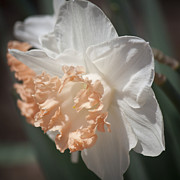 Flowering Bulb Prints - Peach Ruffle Squared 4 Print by Teresa Mucha