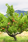 Bright Green Posters - Peaches on tree Poster by Elena Elisseeva