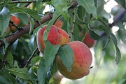 Peaches Photo Prints - Peachy morning Print by Yumi Johnson