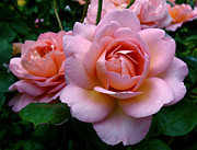 Green Roses Photos - Peachy Pink by Rona Black