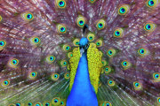 Peacock Metal Prints - Peacock Art Metal Print by Janet Fikar