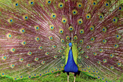 Bright Metal Prints - Peacock Metal Print by Carlos Caetano