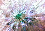 Statigram Prints - Peacock Dandelion - Macro Photography Print by Marianna Mills