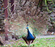 Peacock Display Print by Kenneth Albin