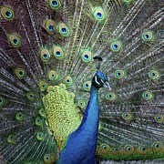 Peacock Metal Prints - Peacock Metal Print by E.M. van Nuil