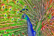 Peacock Metal Prints - Peacock Fanned Tail Feathers Metal Print by Tracie Kaska