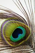 Strobe Art - Peacock Feather by Mary Van de Ven - Printscapes