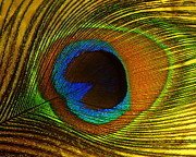Ranjini Kandasamy Art - Peacock Feather by Ranjini Kandasamy