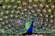 Henry Doorly Zoo Prints - Peacock Feathers Print by Karen M Scovill