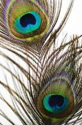 Flare-up Prints - Peacock Feathers Print by Mary Van de Ven - Printscapes