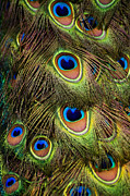 Peacock Feathers Print by Navid Baraty / Getty Images