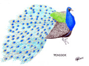 Pencil Drawings By Frederic Kohli - Peacock by Frederic Kohli