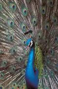 Outdoor Still Life Art - Peacock by Greg Vaughn - Printscapes